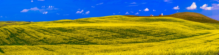 canola fields forever